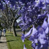 Jacaranda Time in L.A.